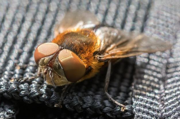 Паразитическая тачина мухи phasia hemiptera из мандала, норвегия, летом, июль