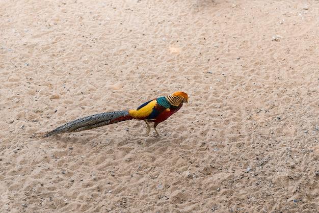 Pheasant on the floor