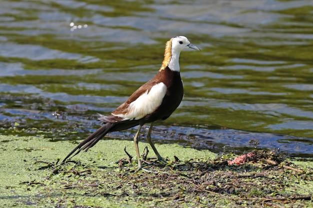 Фазан-хвост хакана гидрофасиан chirurgus красивые птицы таиланда