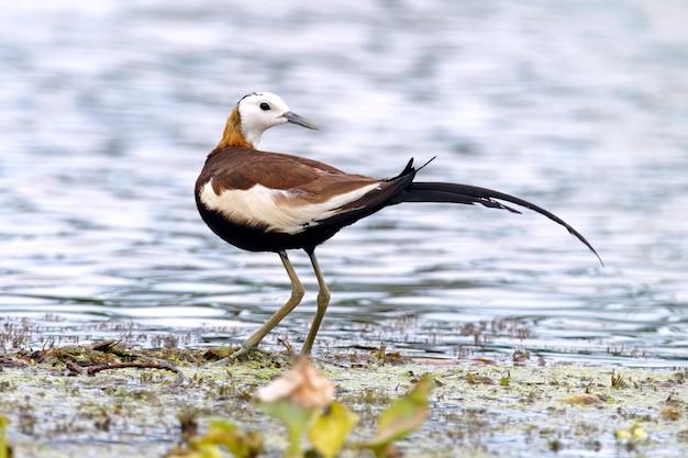 Фазант-хвост jacana hydrophasianus chirurgus красивые мужские птицы таиланда