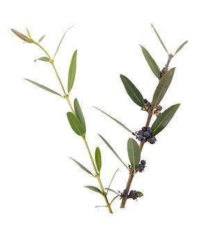Phillyrea latifolia - 흰색 배경에 큰 잎 사상충