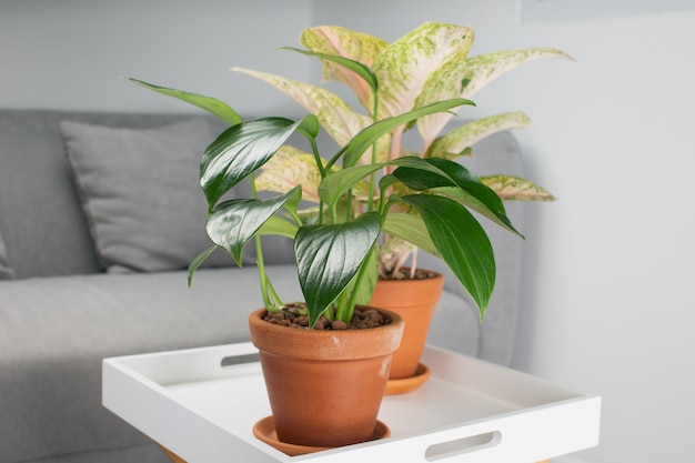Philodendron dragon tail과 aglaonema in clay pots orange in the living room