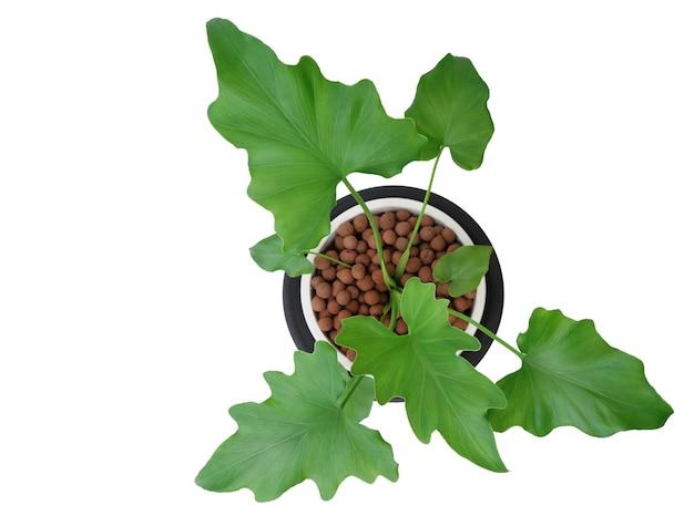 Филодендрон селлум ботанический тропический комнатный горшок для растений, изолированные на белом фоне, включает обтравочный контур, вид сверху экзотическое растение в форме сердца для интерьера