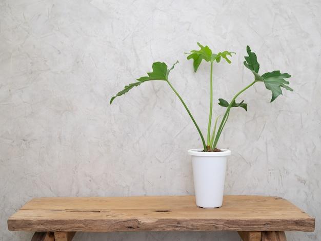 그런 지 나무 테이블과 시멘트 로프트 벽면에 현대 흰색 냄비에 philodendron selloum 집 식물