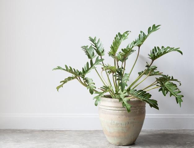 Филодендрон ксанаду ботаническое тропическое комнатное растение в красивом зеленом керамическом горшке на бетонном полу в стиле гранж