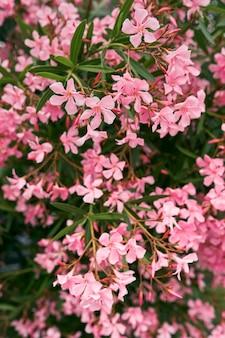 Кусты флоксов цветут розовый крупным планом