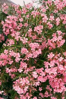 Кусты флоксов с зелеными листьями цветут розовыми крупным планом
