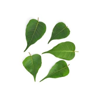 白で隔離のフォーの葉