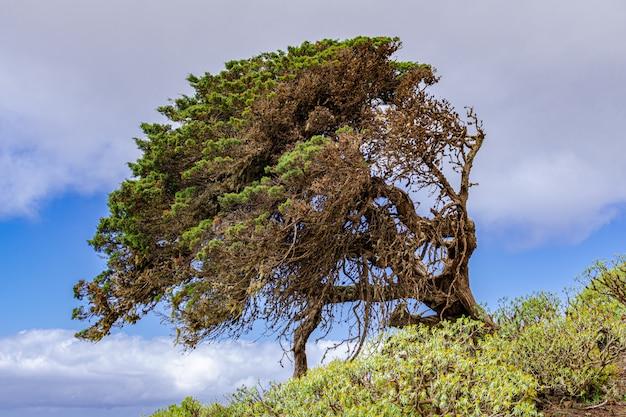Phoenicean juniper (juniperus phoenicea canariensis), with blue sky and some clouds background,  el sabinar, frontera, el hierro, canary islands, spain