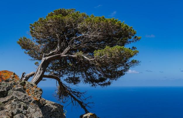 Фенисейское можжевеловое дерево (juniperus phoenicea canariensis), остров эль йерро, канарские острова, испания