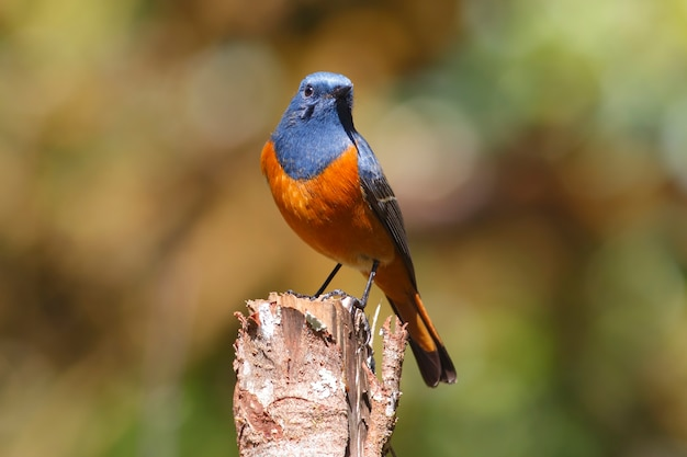 青い枝の赤い始まりphoenicurus frontalisタイの美しい男性の鳥