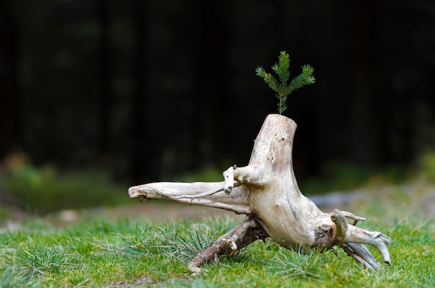 Photo of the abstract stub in the nature with blurred dark background. old tree stump. dry dead snag with a pine tree branch on it. the beginning of new life.