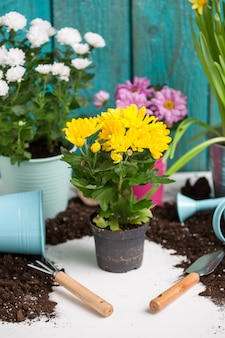 Photo of colorful chrysanthemums in pots near wooden fence