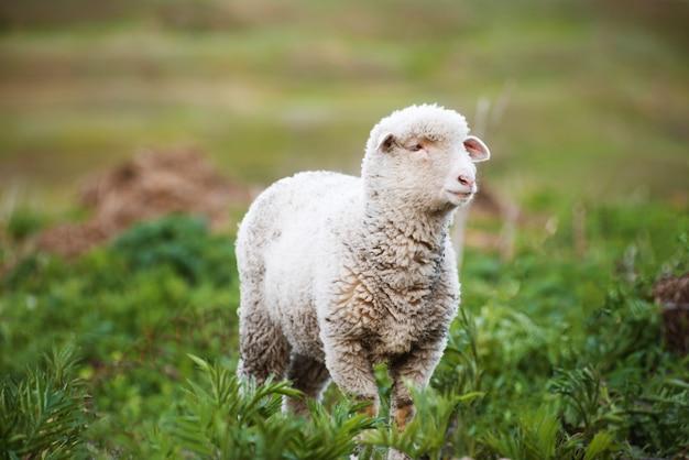 Photo of a cute little fluffy lamb in green field