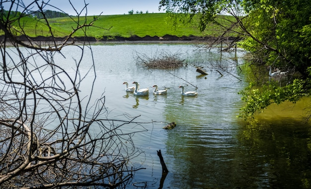 Photo of flock of gooses swimming in pond at field
