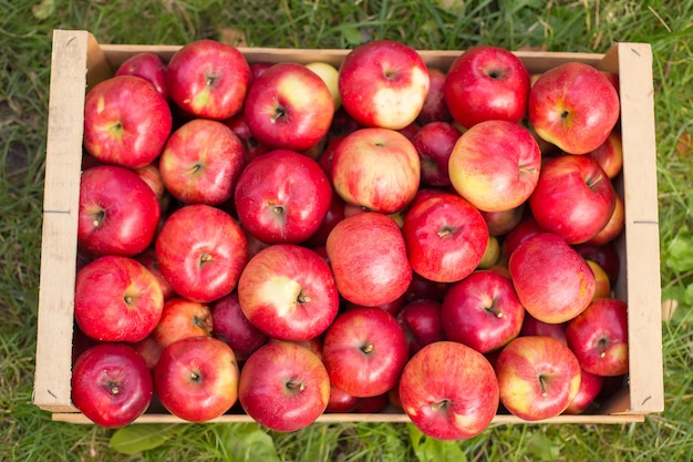 Photo of freshly picked red apples in a wooden crate on grass in sunshine light.