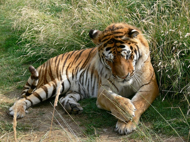 A photo of a full body of a tiger