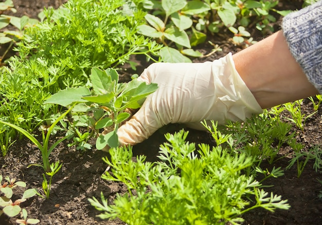Photo of gloved woman hand holding weed and removing it from soil