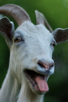 Photo of a happy goat. funny goat shows tongue