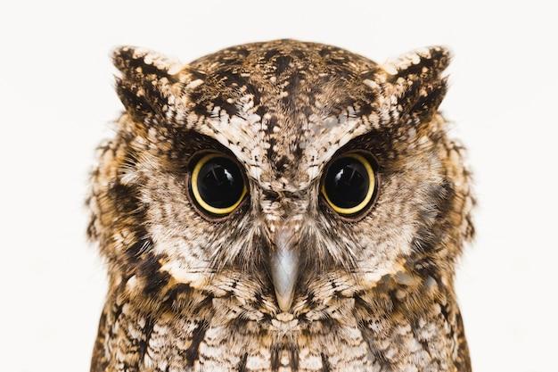 Фотография детеныша совы. бюрократическая сова, также называемая облепихой, полевой совой, совой, геде, урукурой, урукурианской