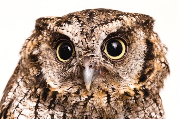 아기 올빼미의 사진. buckthorn, field owl, buck-owl, guede, urucura, urucurian이라고도 불리는 관료적 올빼미