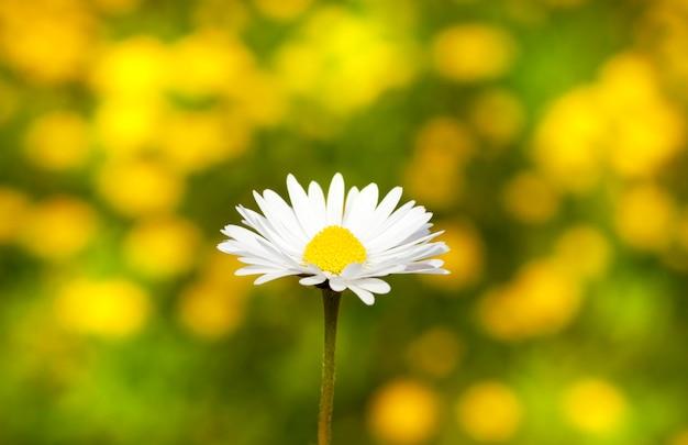 春の美しい白いカモミールの花の写真