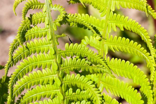 Фото крупным планом двух листов папоротника летом