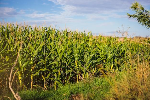 焦点の合っていない背景を持つトウモロコシ畑の写真