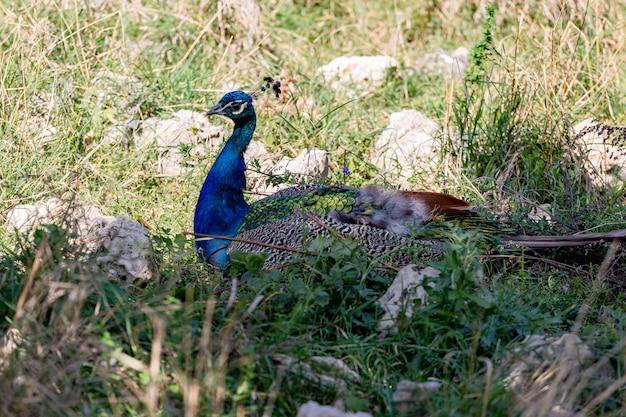 Фотография красивого самца павлина, сидящего в траве