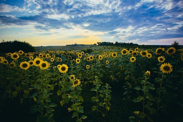 Фото большого красивого поля с подсолнухами на закате