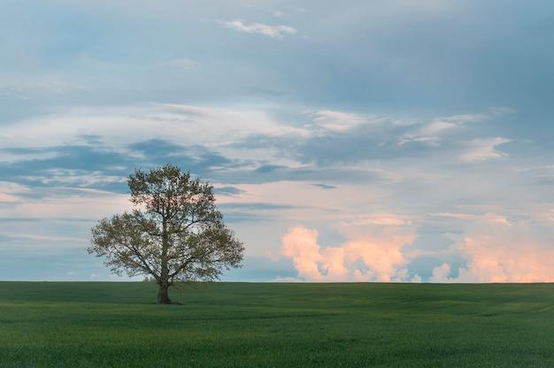 野原にある孤独な樫の木の写真。日没。