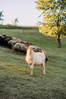 Фотография красной козы.