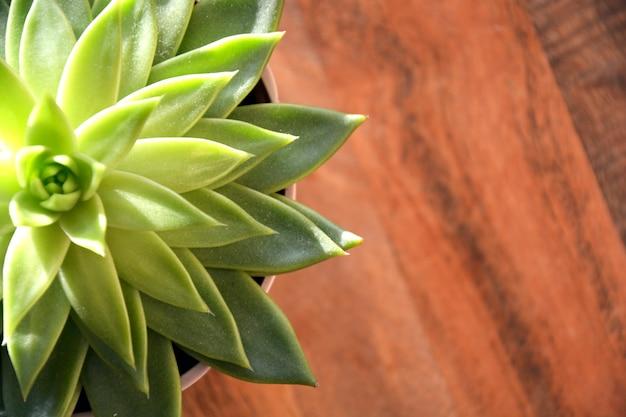 다육 식물의 사진. 밝은 녹색 즙. 사진 그림.