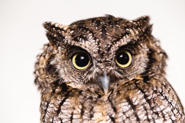 Фотография морды совы, большие глаза. ночная хищная птица Premium Фотографии