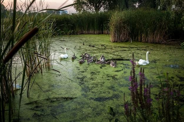 早朝に湖で泳ぐ白鳥の大家族の写真