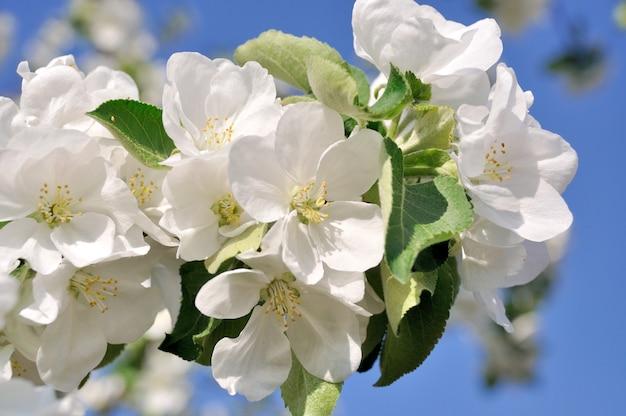 흰 꽃이 만발한 나뭇가지의 사진