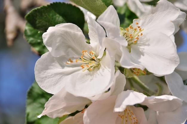 흰 꽃이 만발한 나무 브런치 사진