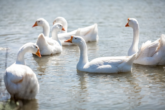 물에 gooses의 무리의 사진