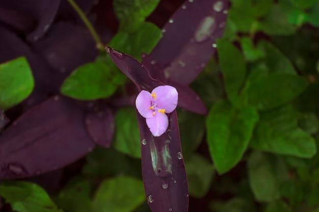 紫の葉と緑の野生の葉と朝露の花の写真