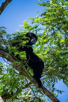 지속 가능한 흰색 사막 동물원 jantho aceh besar의 긴팔원숭이 사진