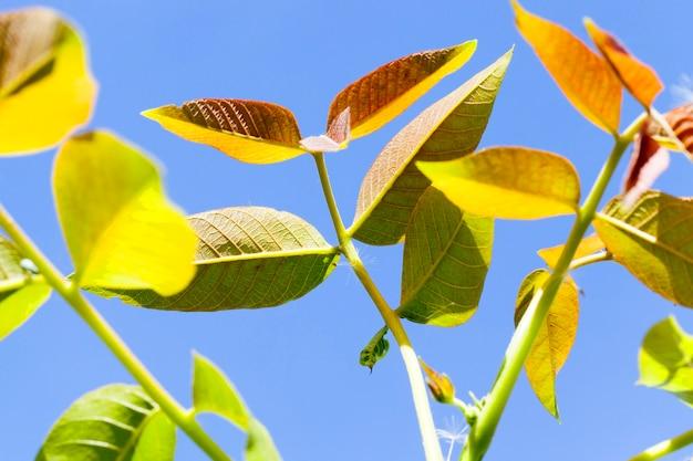 成長期の春に撮影された緑と紫のクルミの葉の写真。
