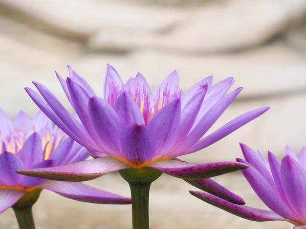 Фото цветов лотоса в пруду