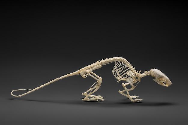 Фото скелета крысы. естественный вид.