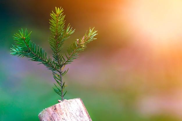 ぼやけた暗い自然の中で抽象的なスタブの写真。古い木の切り株。松の木の枝が付いている死んだ思わぬ障害を乾燥させます。新しい人生の始まり。