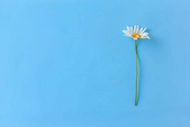 青い背景の上の白いカモミールの写真