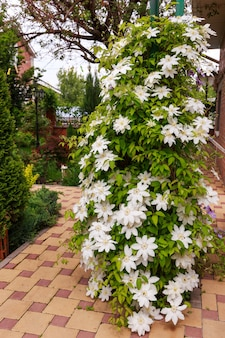 庭の白いクレマチスの花の写真