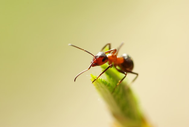 A photo of red ants closeup