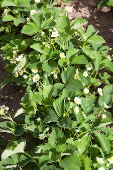 Photo of a row of strawberries during flowering and growth in the spring on an agricultural field