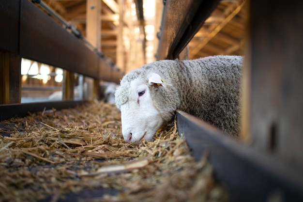 Photo of sheep animal eating food from automated conveyor belt feeder at cattle farm