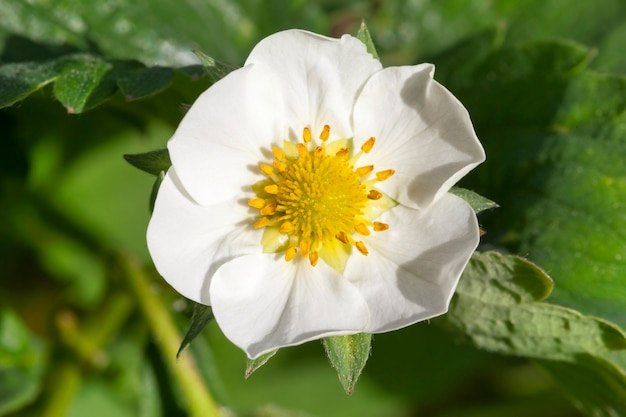 Photo of a single strawberry flower against a background of green foliage. close-up of the spring. focus on flowering bush